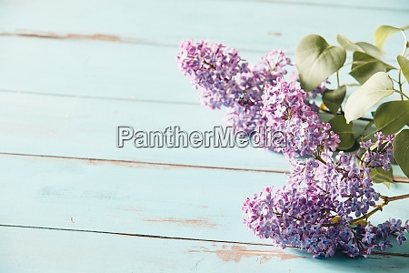 delicate purple inflorescences of spring lilac