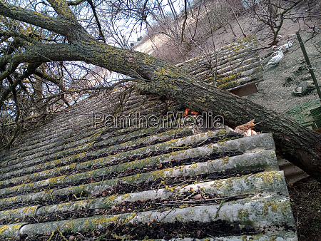 a windbroken apricot tree fell on
