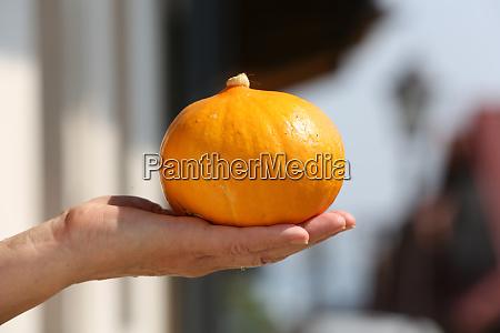 the pumpkin ripened on