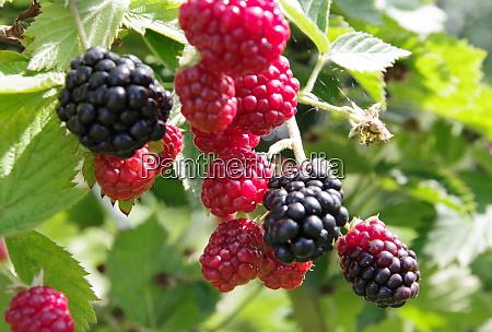 wild blackberries in different states of