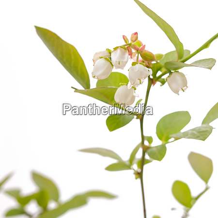 white flower of a blueberry plant