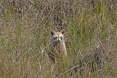 raccoon peeking out from the coastal