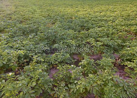 potato plant field before harvesting