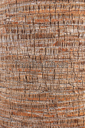 tropical tree trunk background palm bark
