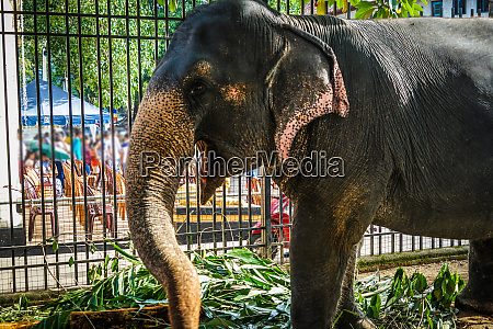 elephants of sri lanka candy