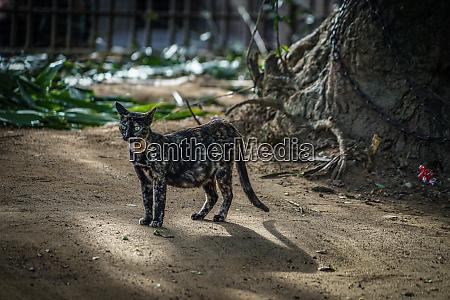 cat of sri lanka candy