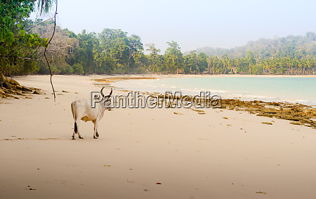 indian zebu cow walking on a