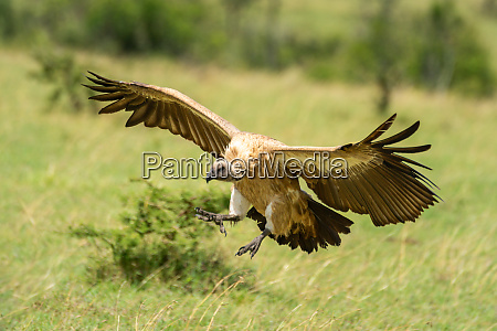 white backed vulture spreads wings for