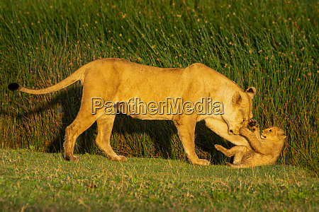 walking lioness pushes cub down on