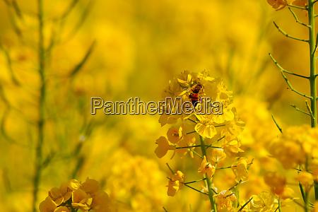 image of rape blossoms