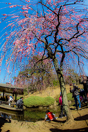people who gather and plum trees