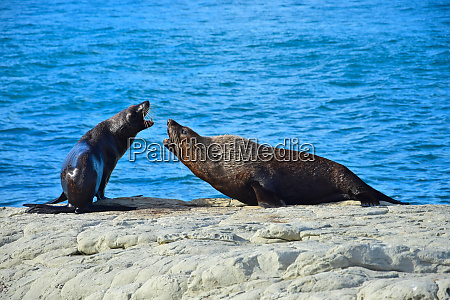 two new zealand fur seals threatening