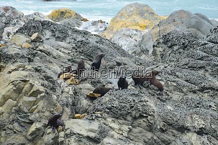 a new zealand fur seal kindergarten