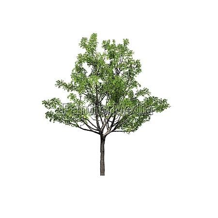 a single japanese maple tree