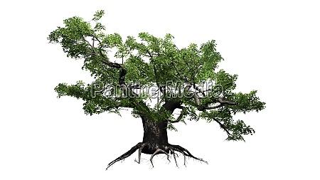 green japanese maple tree