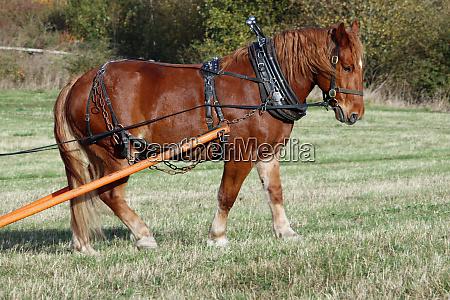 working suffolk punch horse