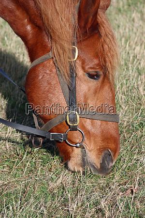 suffolk punch horse eating grass