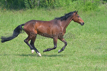 footfall sequence galloping mare 2 5