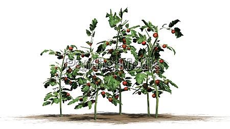 tomato plants on white background