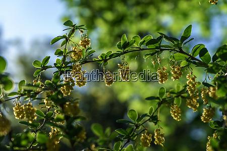 berberis flowers in the sunlight