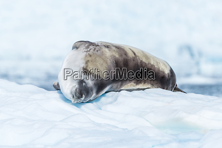 crabeater seal lying asleep on ice