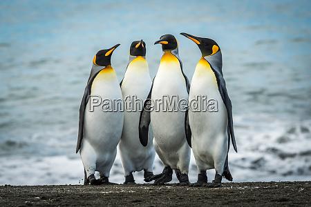 four king penguins together on sandy