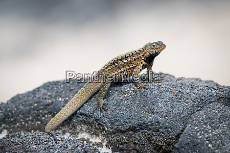 lava lizard perched on grey volcanic
