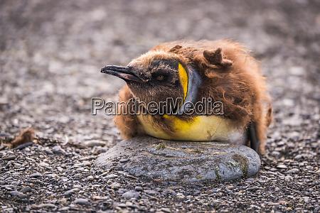 moulting king penguin on rock on