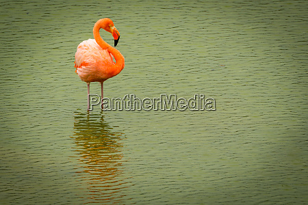 greater flamingo standing in calm green
