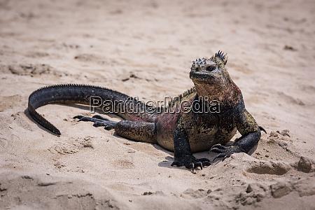 marine iguana sunbathing on white sandy