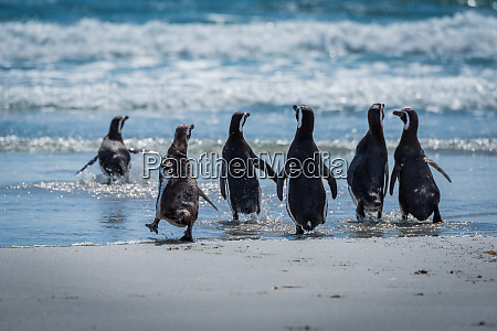 six magellanic penguins running into shallow
