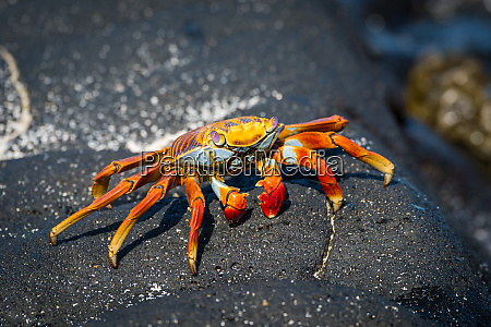 sally lightfoot crab perched on grey