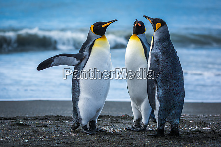 three penguins on beach with surf