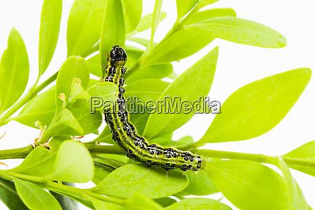 boxwood borer cydalima perspectalis grass leaf