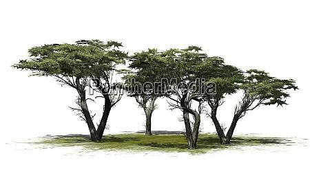 monterey cypress tree cluster on white