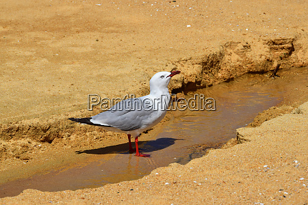 a red billed gull drinking water