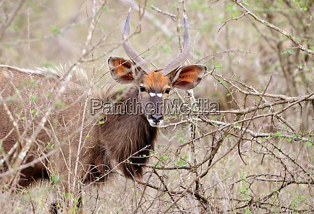hlane royal national park swaziland nyala