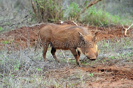 hlane royal national park swaziland warthog
