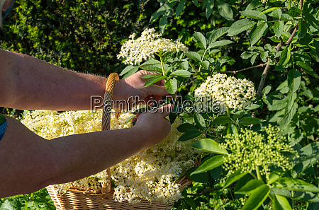 fresh elderberry blossoms are cut from