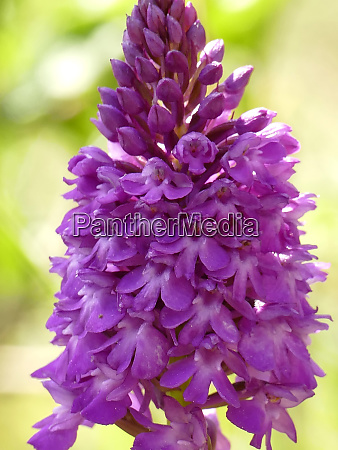 pyramidal orchid german wild orchid