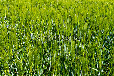 agriculture and farmland with barley
