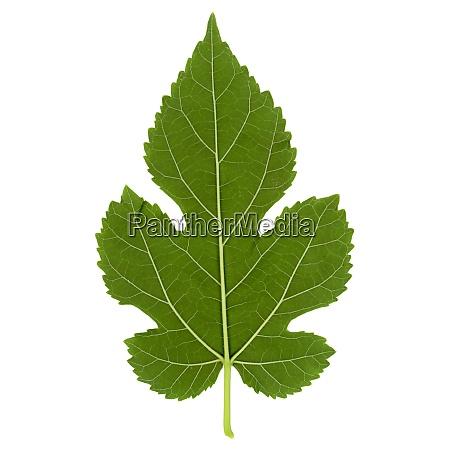 white mulberry tree morus alba leaf