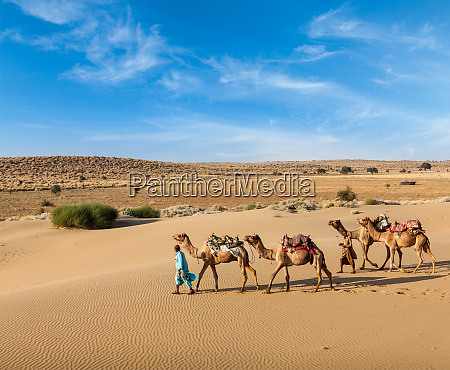 two cameleers with camels in dunes