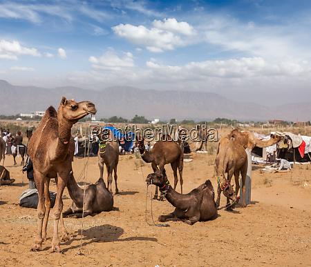 camels at pushkar mela pushkar camel
