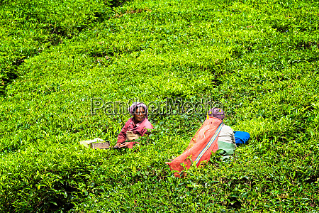 indian woman harvests tea leaves at
