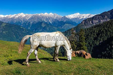 horses in mountains himachal pradesh india