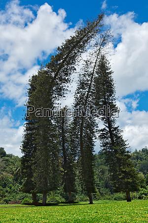crooked cook pines araucaria columnaris