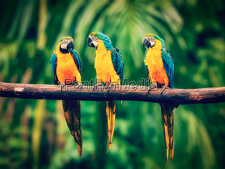 blue and yellow macaw in jungle