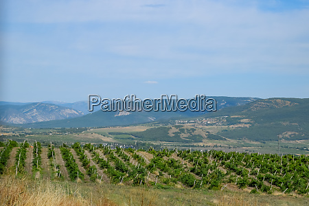 fields with vineyards on trellises hills