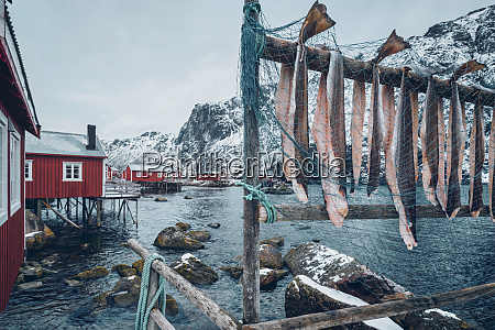 drying stockfish cod in nusfjord